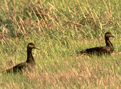 Black ducks using habitat