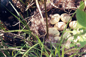 Mallard nest with clutch