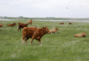 Prairie cattle