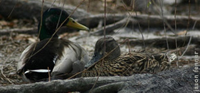 Mallards in habitat