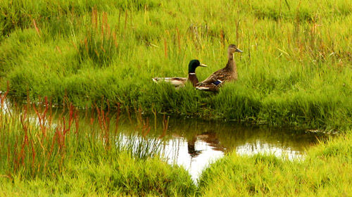 Mallards on the prairie