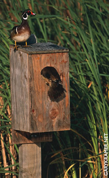 Wood ducks and box, GaryKramer.net