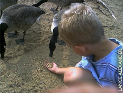 Feeding geese is a bad idea