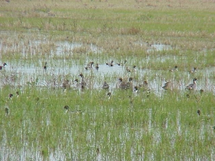 pintails depend on rice fields for winter foraging