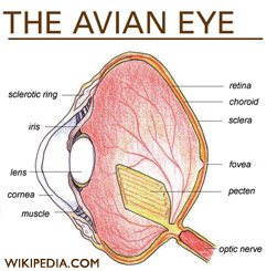 Avian Eye diagram, from Wikipedia.com