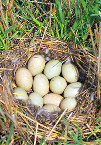Duck nest on the prairie