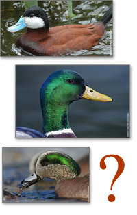 Test Your Waterfowl IQ