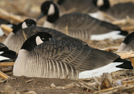 GHG® Life-Size Canada & Specklebelly Goose Shells