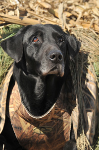 Drake the DU Dog in the Finisher® Dog Blind