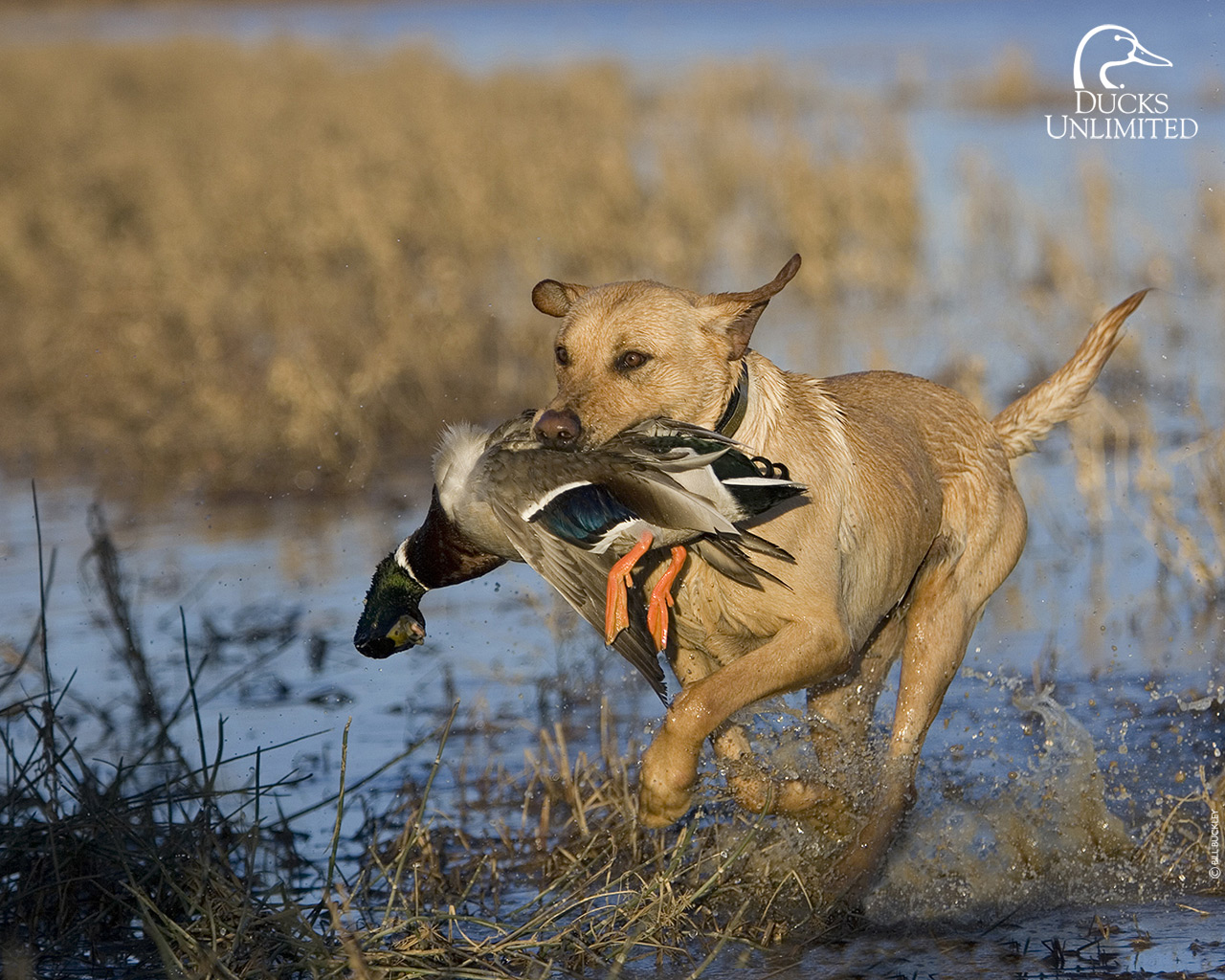 Duck Hunting Wallpaper Free Desktop Wa...