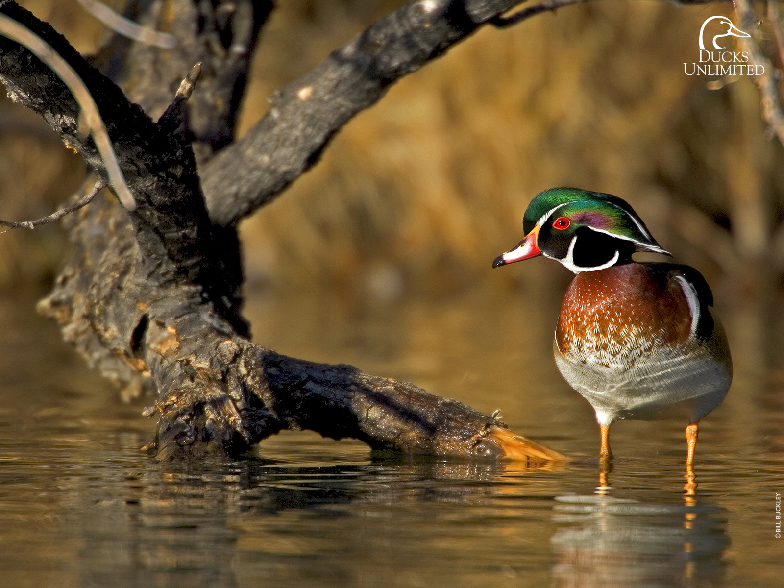 ducks unlimited essay Published in home place essays in ecology  historic parks, migratory bird  sanctuaries, national wildlife areas, ducks unlimited projects and military  reserves.