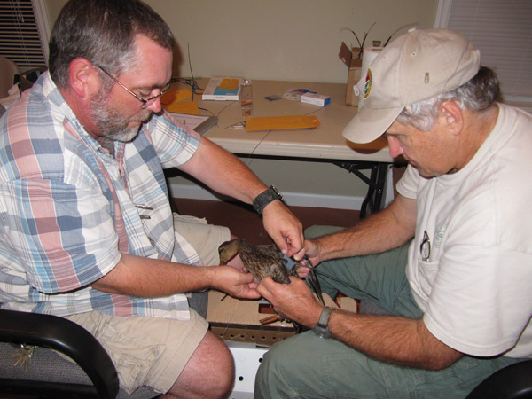 Biologists attach a radio transmitter to a female mottled duck in SC