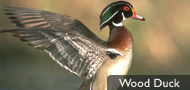 DU Waterfowl ID Gallery