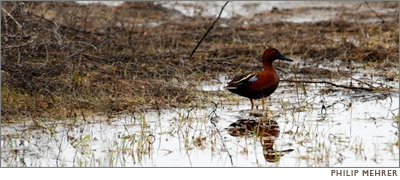 Cinnamon teal on a wetland