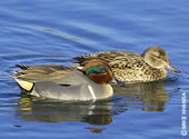Learn more about Green-winged teal.