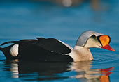 Click to read more about the King Eider.