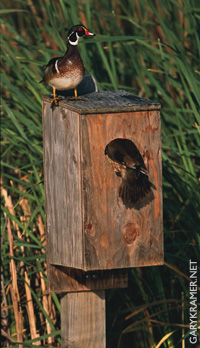 Click to read more about wood ducks & wood duck boxes