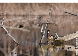 Wetland with wood duck