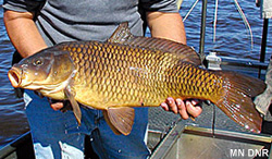 Invasive common carp; courtesy of MN DNR
