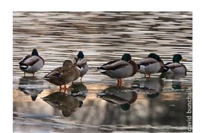 Mallards on wetland