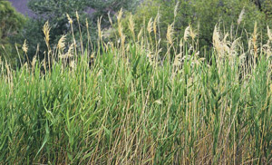 Invasive species, phragmites