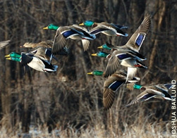 Read more of '2009 Waterfowler's Forecast' from DU Magazine