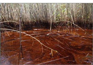Oil-choked wetland in coastal Louisiana