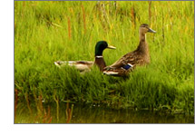 Mallards on the prairies