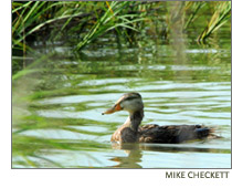 Mottled duck in the Louisiana marsh