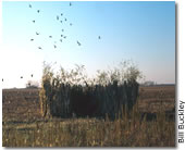 Click here to view tips on how to build a simple duck blind!