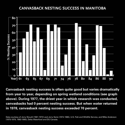 Canvasback Nesting Success in Manitoba