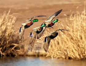 Mallards - photo courtesy Bill Houghton